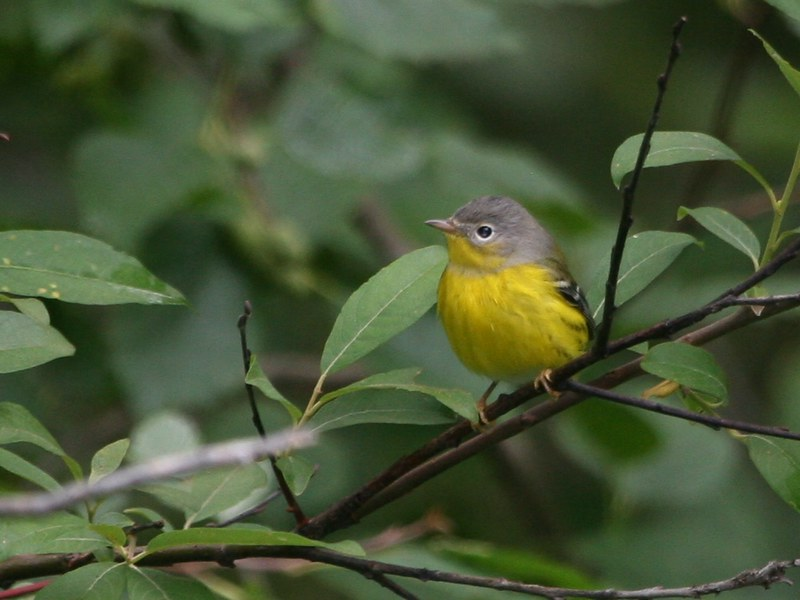 Small yellow and grey bird sits on branch, one of many birds that can be seen by people birding in New York City