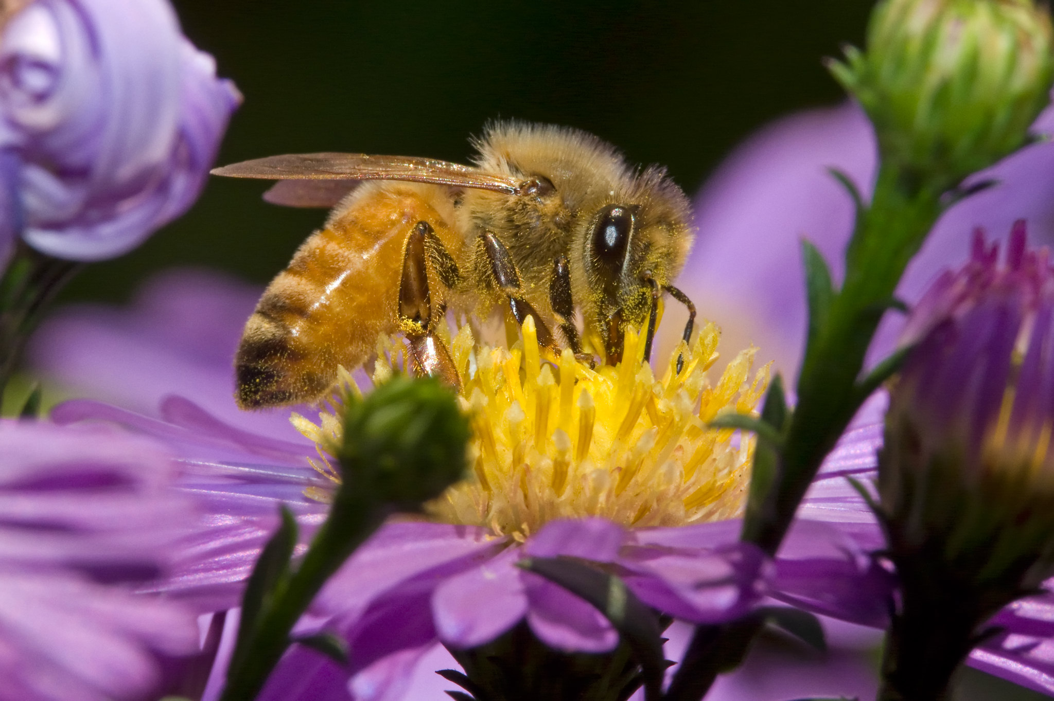 Honeybee perches on purple and yellow flower gathering nectar