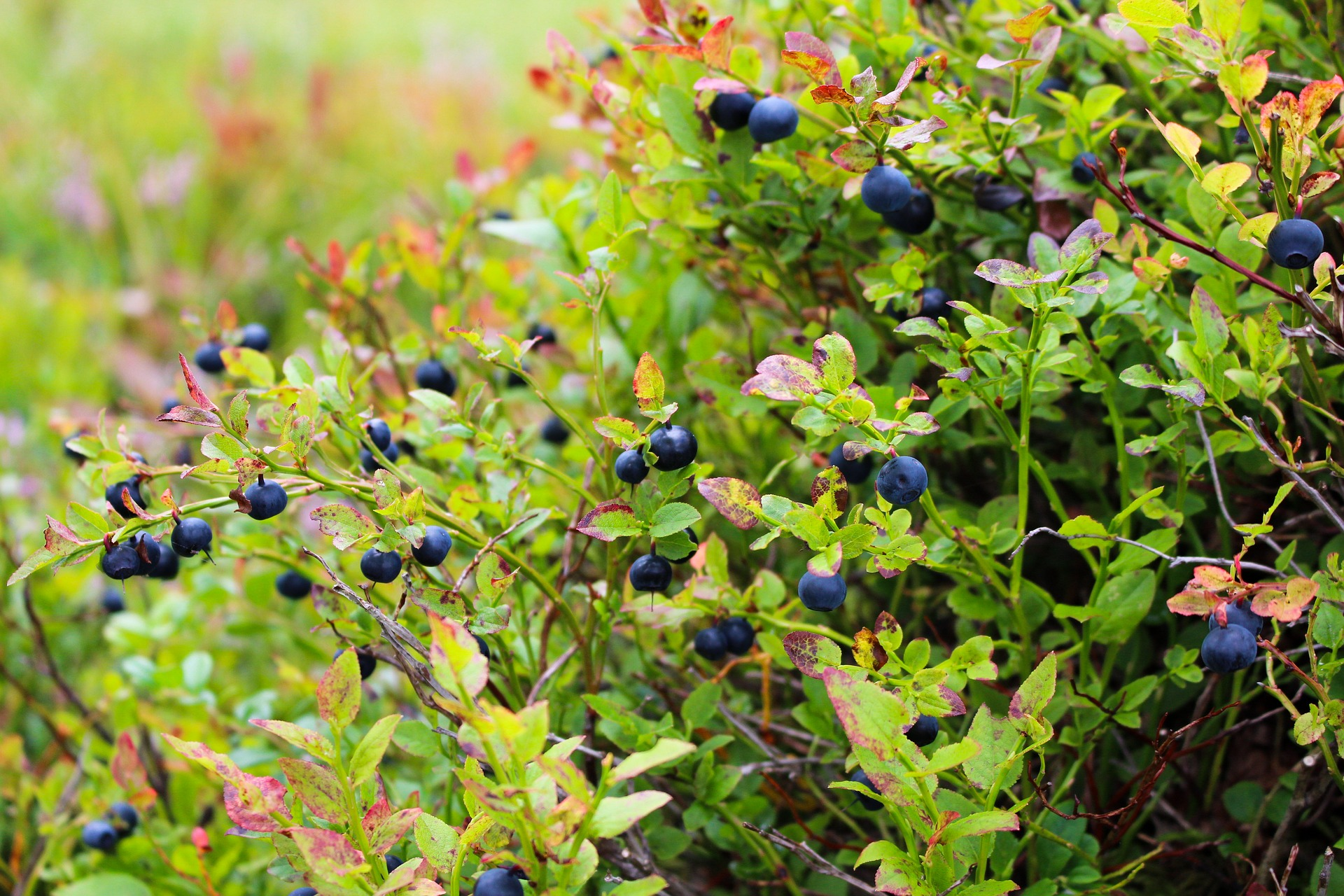 A heather blueberry plant takes up the whole frame. Small, dark blue berries dot a shrub with rounded leaves. Most leaves are bright green, some are orange and red.