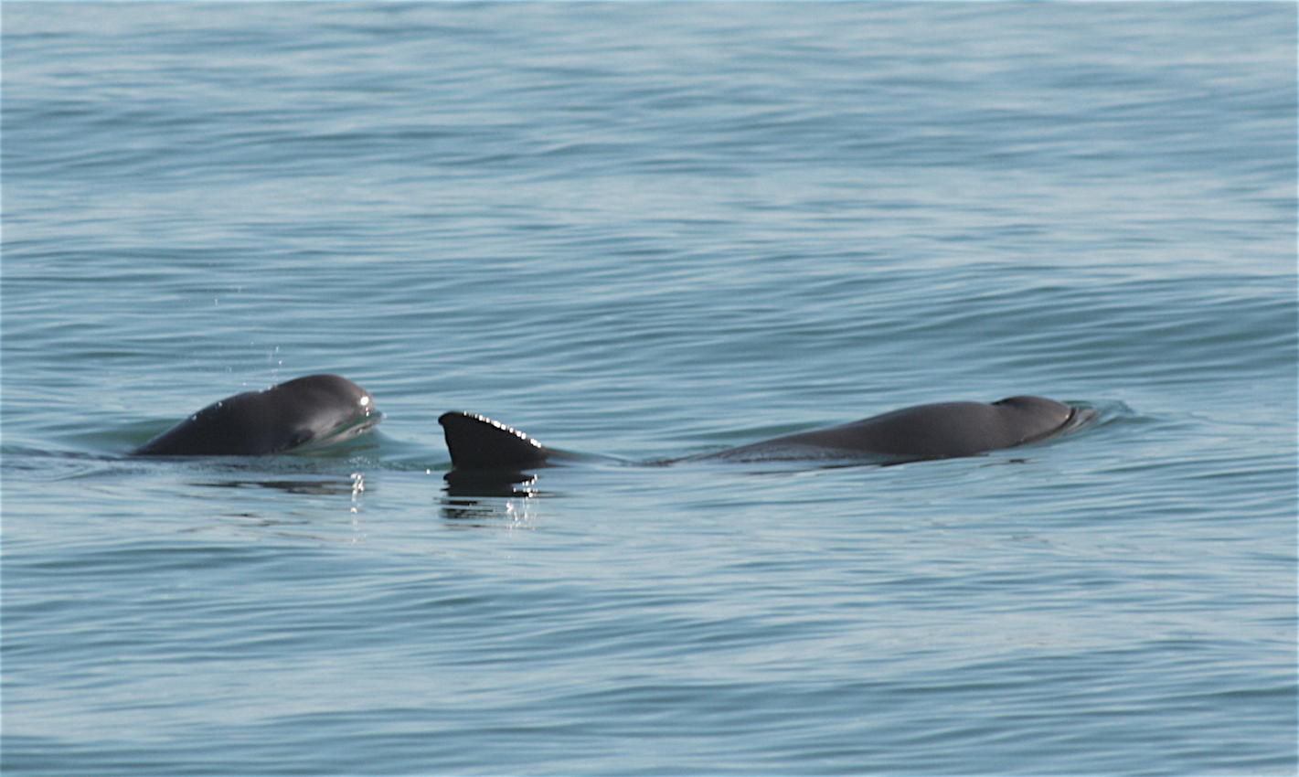 Two vaquitas pictured in the water. The right one has their back and rear fin visible, and the left one's face is visible.
