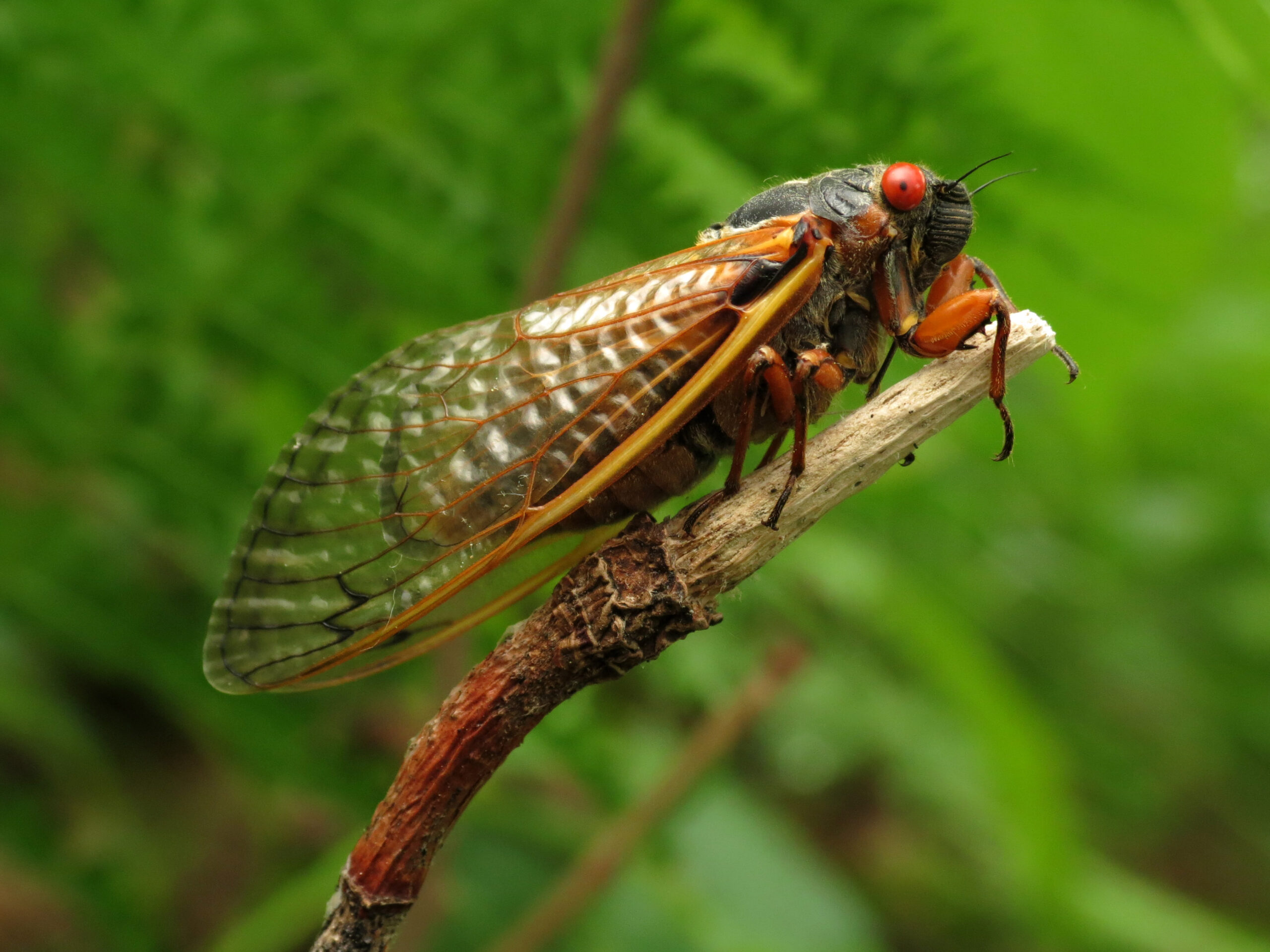 A black cicada with bulging red eyes and translucent amber wings perches on a twig against a leafy green background.