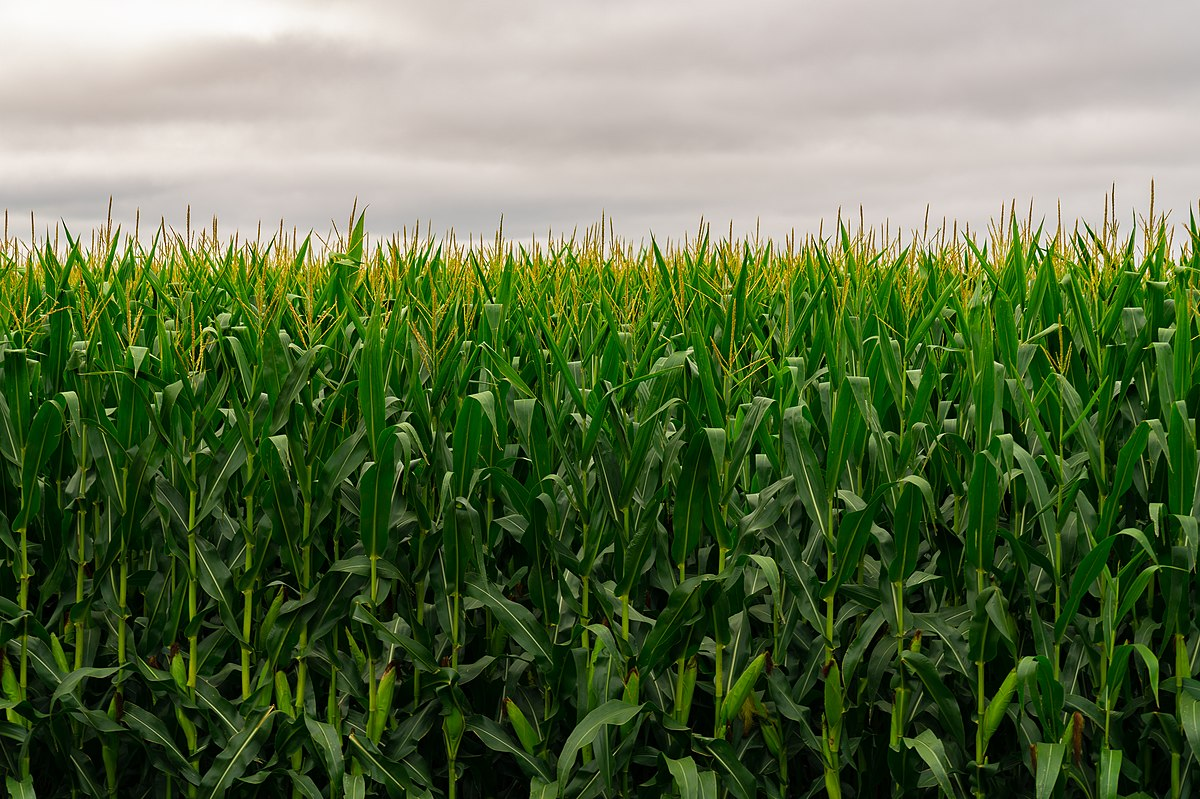 A green field of monoculture corn almost looks like a solid wall beneath a cloudy, grey sky.
