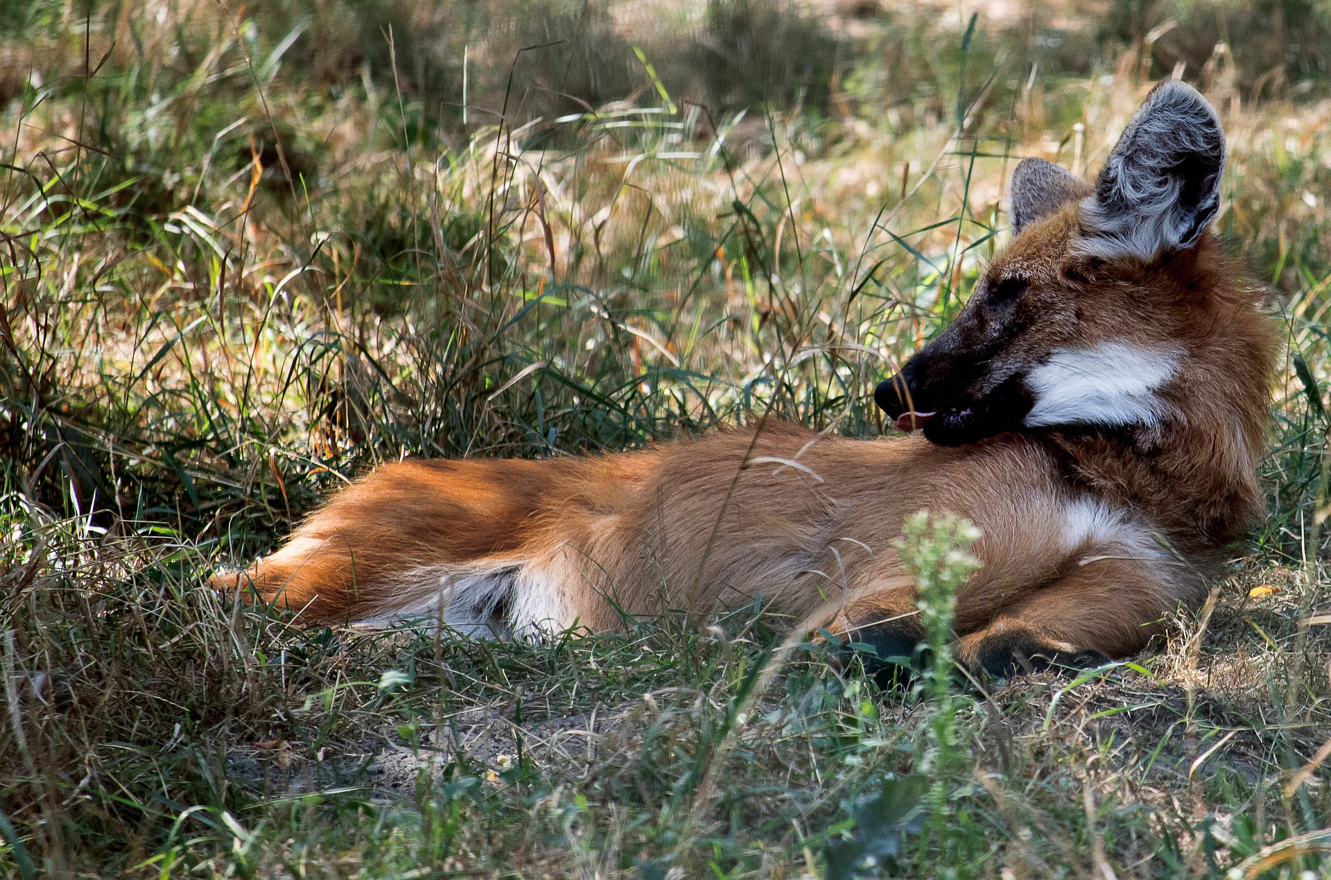 A maned wolf lies in the grass