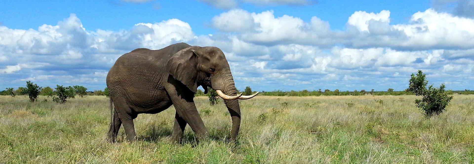An elephant walks across the savanna
