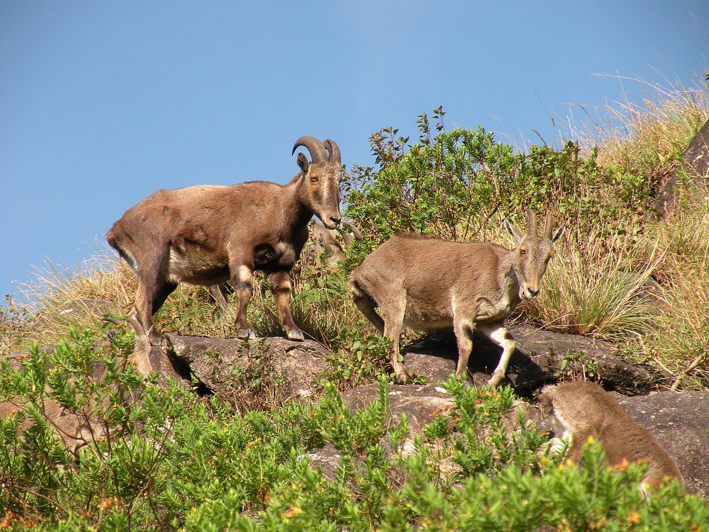 Three Nilgiri tahr (a type of mountain goat) descend a rocky slope covered in shrubs