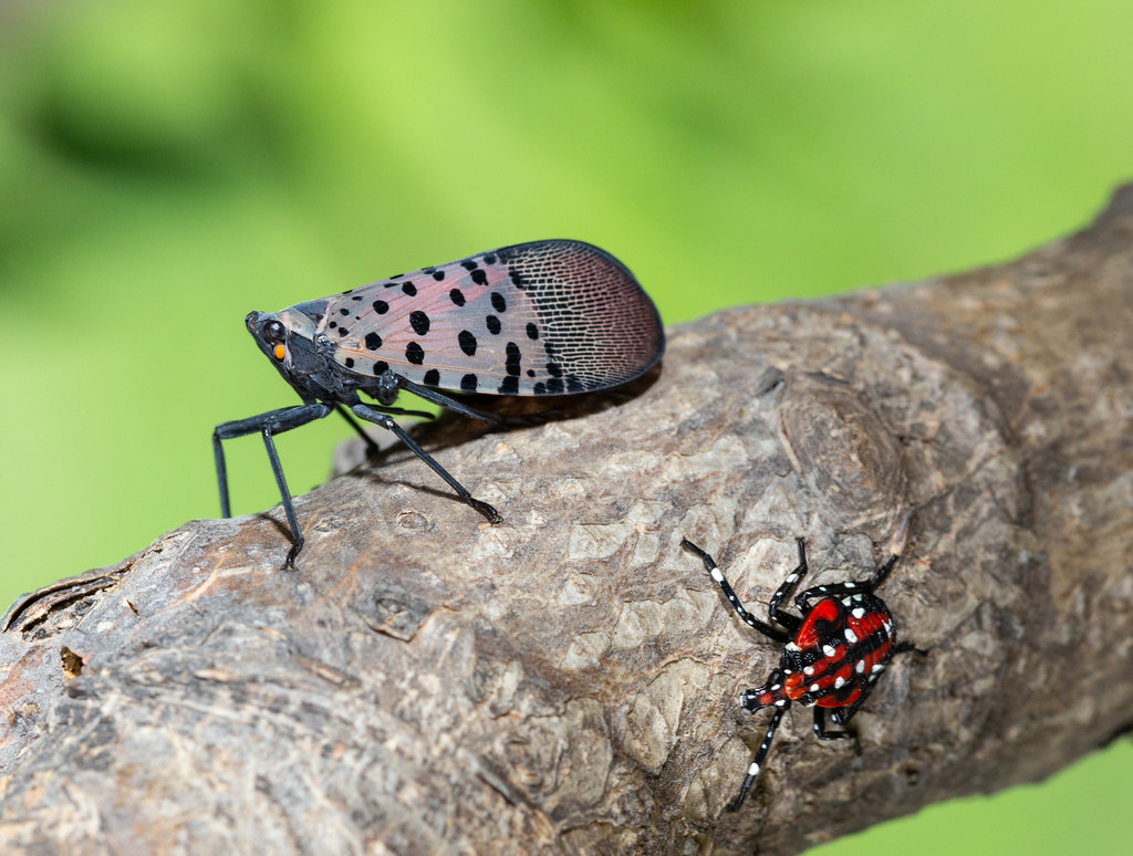 Spotted lanternflies on a tree