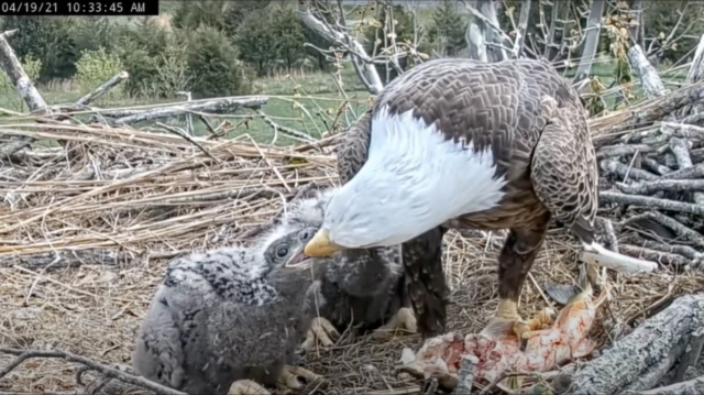An adult bald eagle feeds two small eaglets in a nest