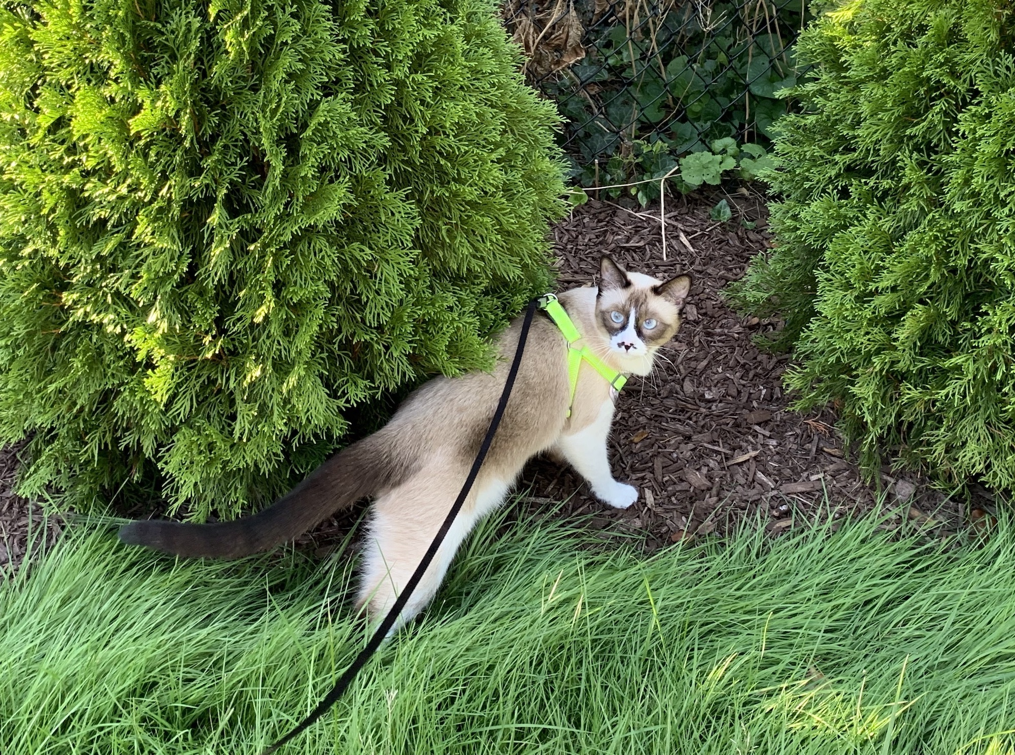 A very cute cat walks outside among bushes and grass. He is wearing a harness and leash, and looking back over his shoulder.
