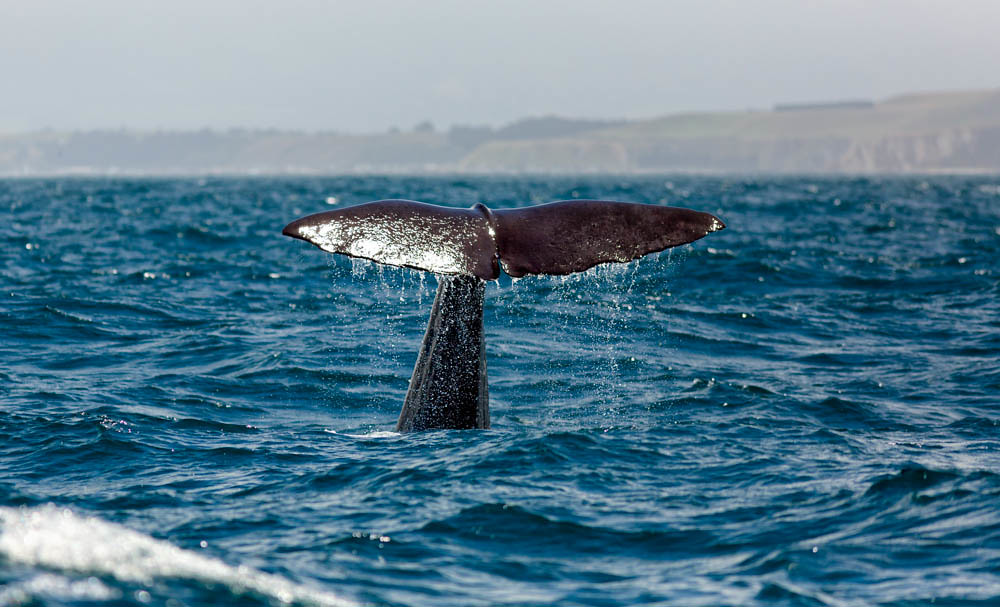 A whale swimming in the blue ocean with its T shaped tale sticking out of water